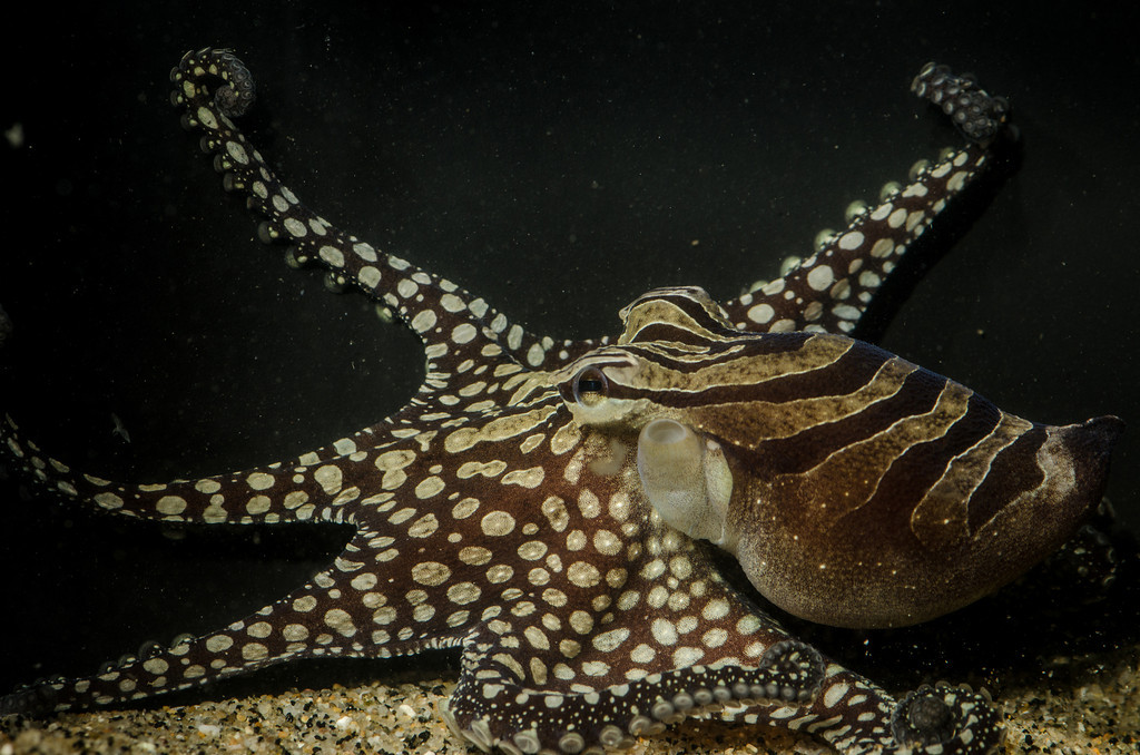 Larger Pacific Striped Octopus displaying stripes and spots- Photo by Richard Ross
