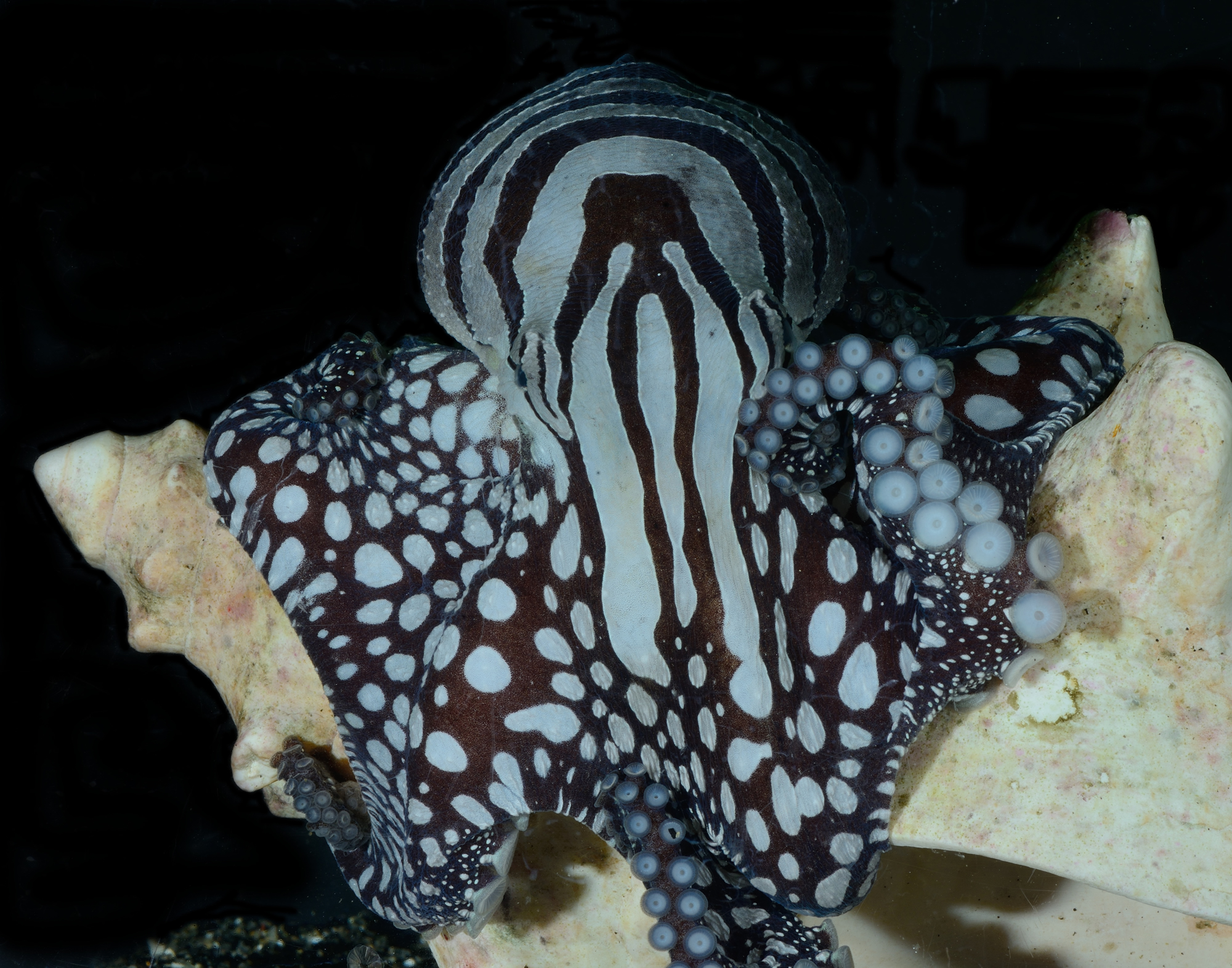 The unique color patters of the Larger Pacific Striped Octopus – Photo by Roy Caldwell
