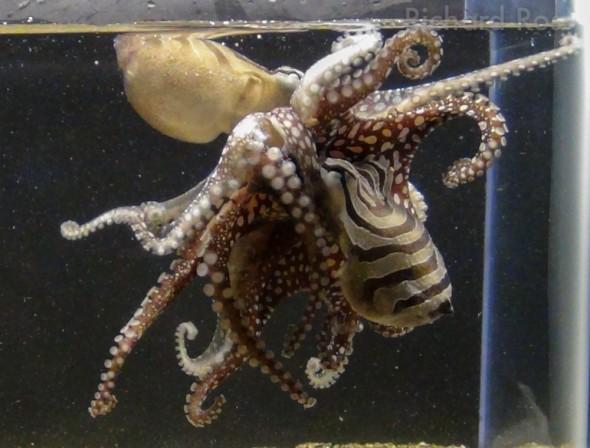Larger Pacific Octopuses mate dangerously 'beak to beak' - photo by Richard Ross