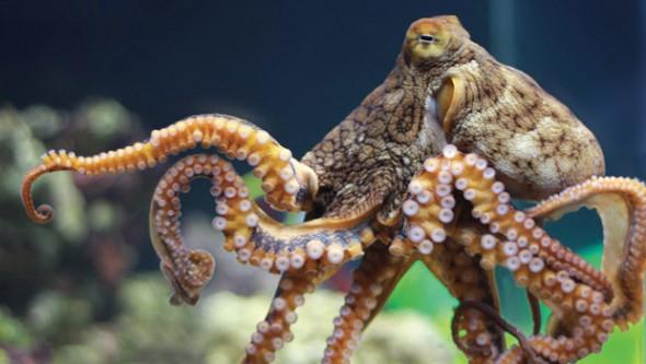 octopus_620